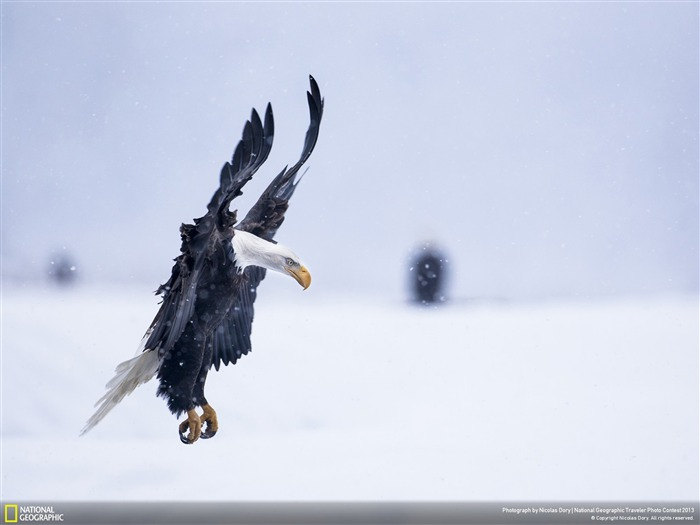 Bald Eagle landing in snowstorm-National Geographic Wallpaper Views:3761