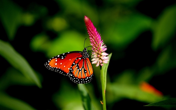 butterfly flower plant-Macro photography wallpaper Views:3872