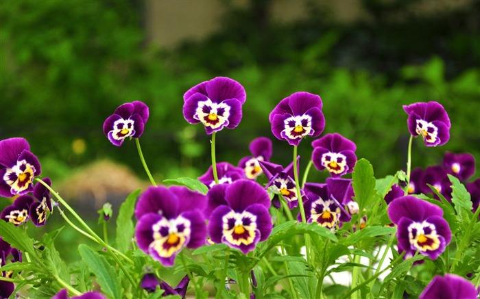 pansies flowers faces grass smiling-Photos HD Wallpaper