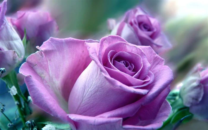 purple roses flowers-Photos HD Wallpaper Views:5374 Date:8/11/2013 7:14:37 PM