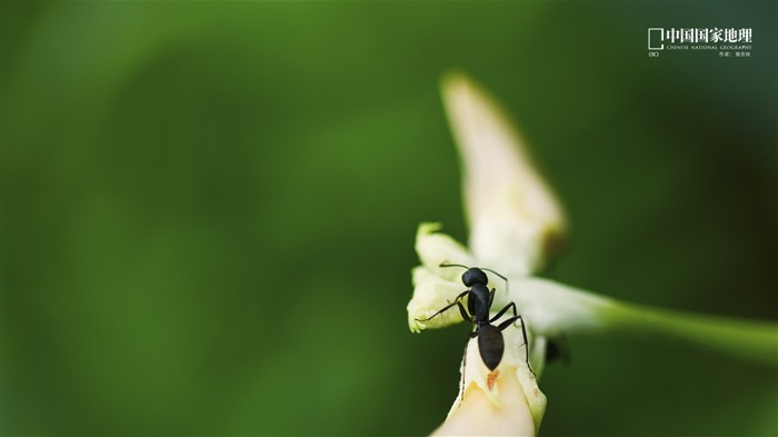 Ant-China National Geographic wallpaper Views:3220 Date:9/17/2013 10:52:02 PM