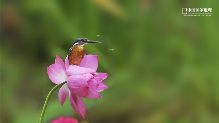 Elf Kingfisher-China National Geographic wallpaper Views:3992 Date:9/17/2013 10:34:21 PM