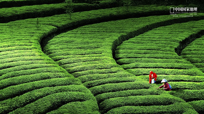 Green tea-China National Geographic wallpaper Views:5070 Date:9/17/2013 11:06:37 PM