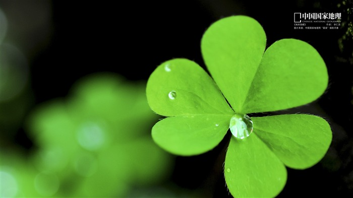 Lucky Clover-China National Geographic wallpaper Views:37514 Date:9/17/2013 11:15:11 PM