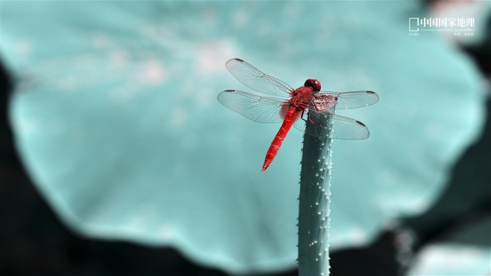 Red Dragonfly-China National Geographic wallpaper Views:2770 Date:9/17/2013 10:50:38 PM