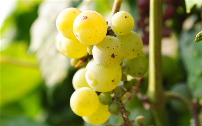 grapes-Photography Life HD Wallpaper Views:3856