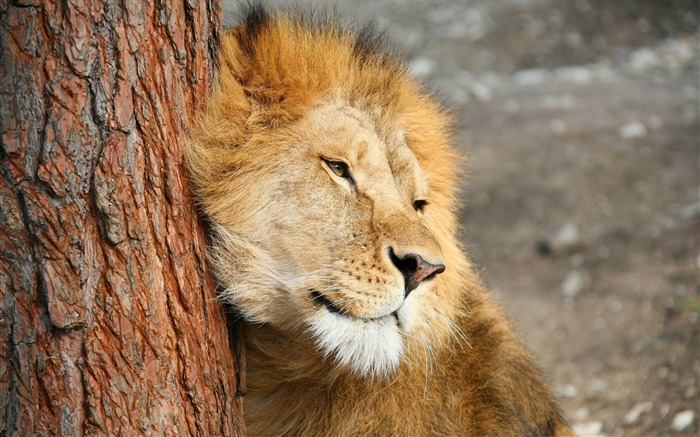 Title:lion tree tenderness predator-Animal Widescreen Wallpaper Views:2324