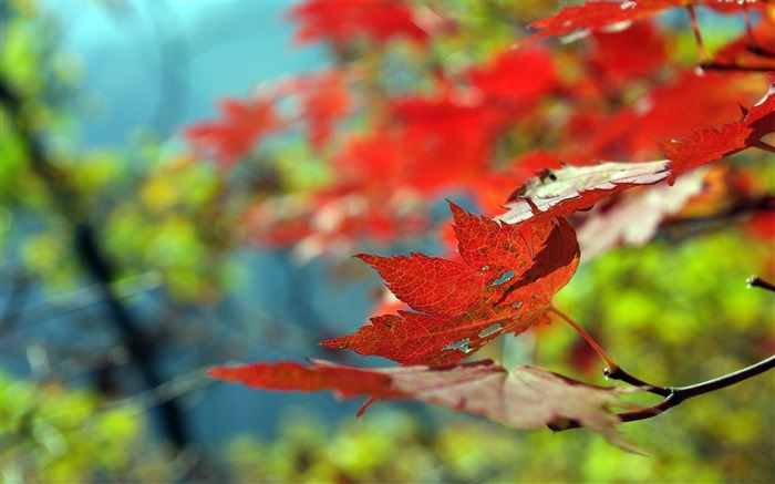 leaves maple dry-Autumn HD Wallpaper Views:5882 Date:10/31/2013 9:04:19 AM