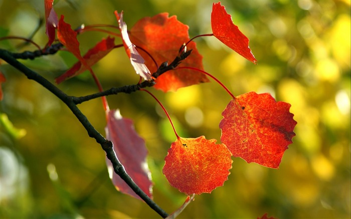 leaves maple tree dry-Autumn HD Wallpaper Views:8007 Date:10/31/2013 9:04:39 AM