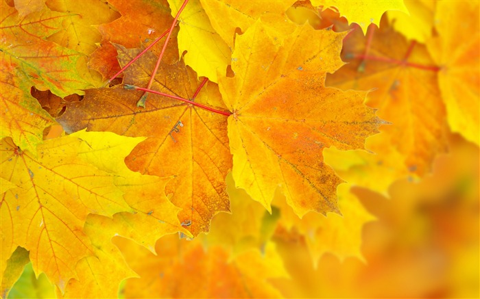 leaves maple yellow autumn-Plants Macro wallpaper Views:4268 Date:10/11/2013 11:12:43 AM