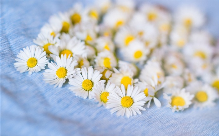 chamomile white flowers-plants desktop wallpaper Views:2170