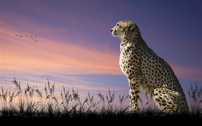 cheetah nature sit-Animal Photo Wallpaper Views:3628