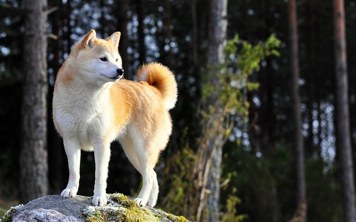 dog akita inu stand nature-Animal photo Wallpaper Views:7972