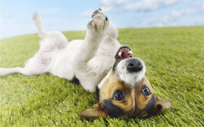 dog grass lie playful-Animal photo Wallpaper Views:3086