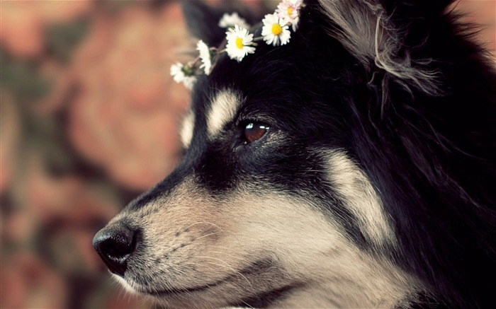 dog muzzle spotted wreath-Animal photo Wallpaper Views:3220