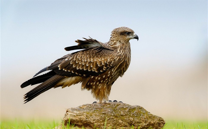 eagle bird stone-Animal Photo Wallpaper Views:2728