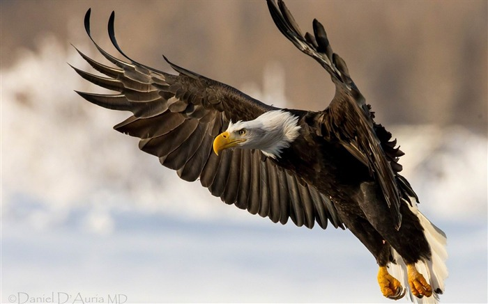 eagle bird wings flap-Animal Photo Wallpaper Views:4764
