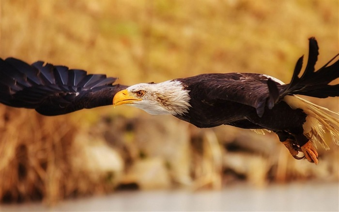 eagle fly flap wings-Animal Photo Wallpaper Views:3309