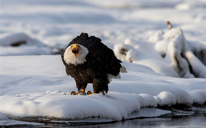 eagle snow winter predator-Animal Photo Wallpaper Views:3075