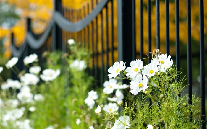 fence flowers white-plants desktop wallpaper Views:1951