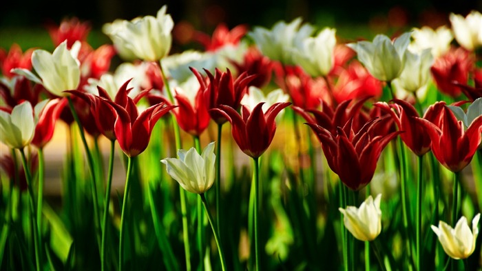 field nature red tulips-plants desktop wallpaper Views:2210