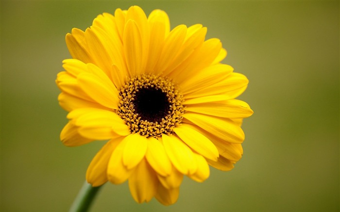 gerbera yellow flower-plants desktop wallpaper Views:3257