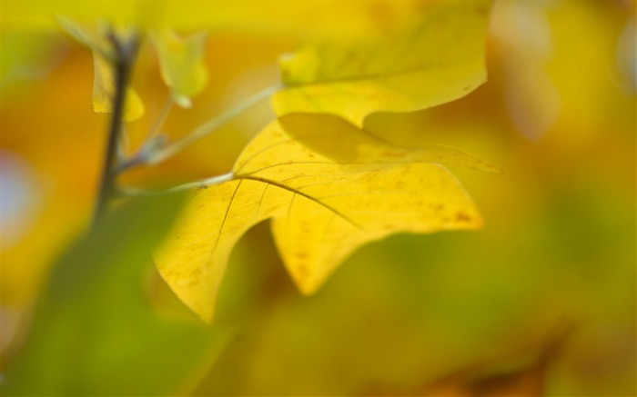 leaf close-up yellow-Plants HD Wallpaper Views:2857