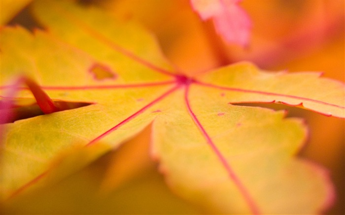 leaf dry veins autumn-Plants HD Wallpapers Views:2480