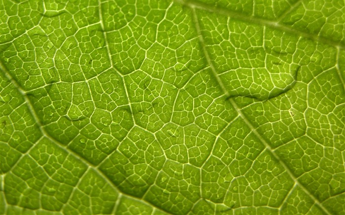 leaf veins surface-Plants HD Wallpapers Views:1845