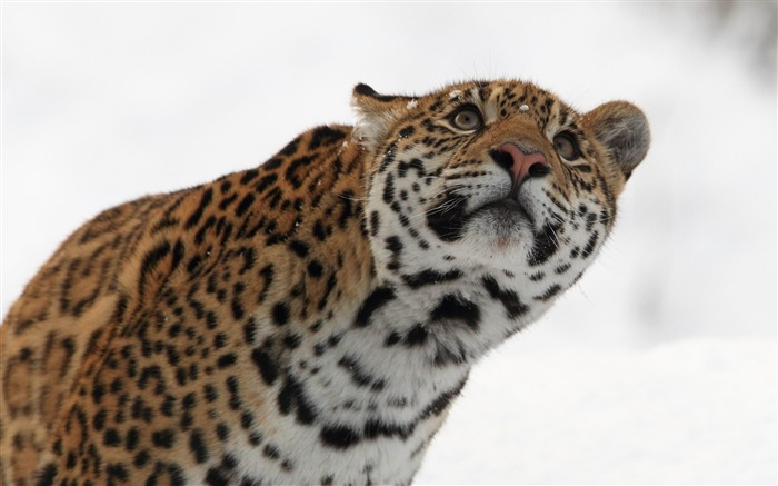 leopard muzzle eyes snow-Animal Photo Wallpaper Views:3612