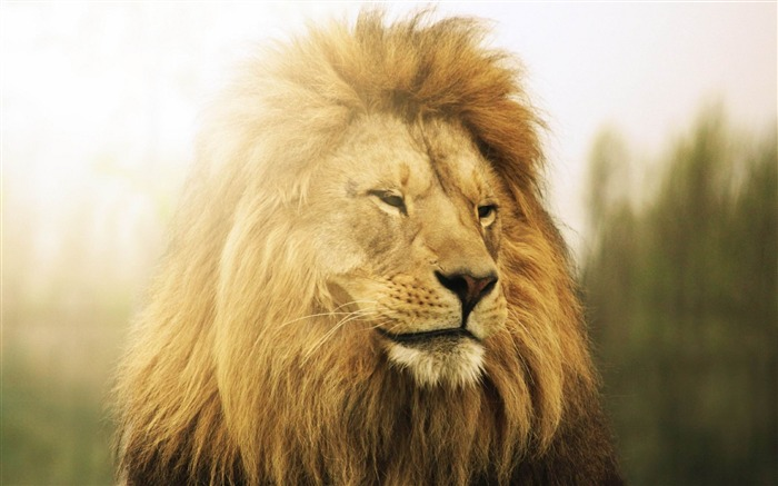 lion mane down predator-Animal Photo Wallpaper Views:3176
