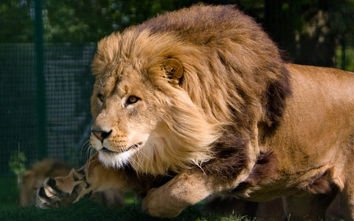 lion mane predator king beasts-Animal photo Wallpapers Views:8570