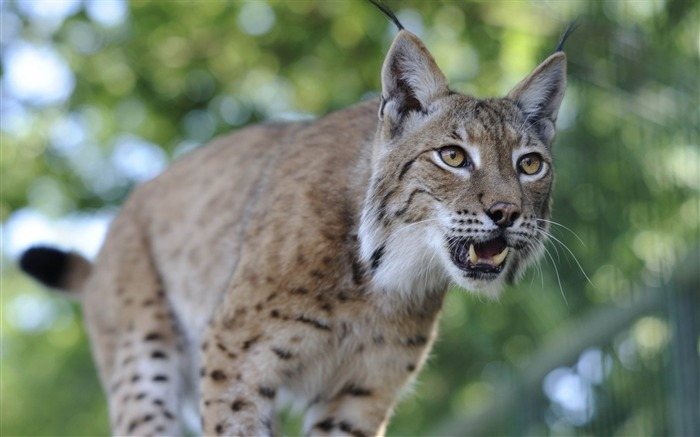 lynx predator-Animal Photo Wallpaper Views:3901