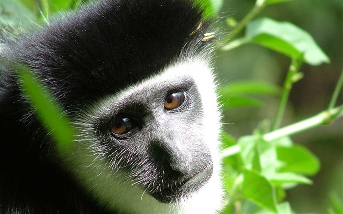 monkey face kid-Animal photo Wallpapers Views:3064
