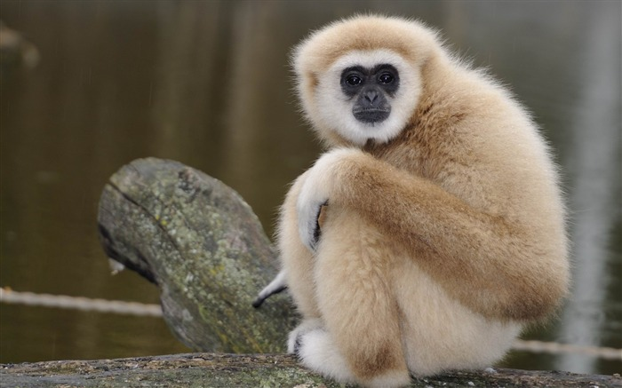 monkey sadness-Animal Photo Wallpaper Views:2941
