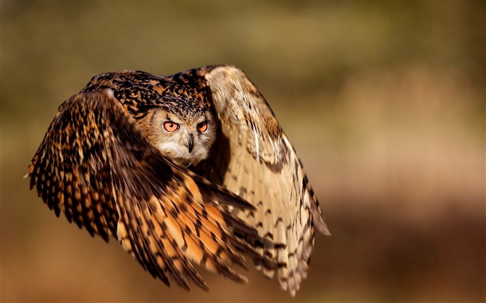 owl bird flying wings-Animal Photo Wallpaper Views:4218