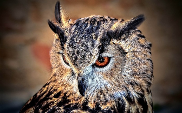 owl predator look bird-Animal Photo Wallpaper Views:4478
