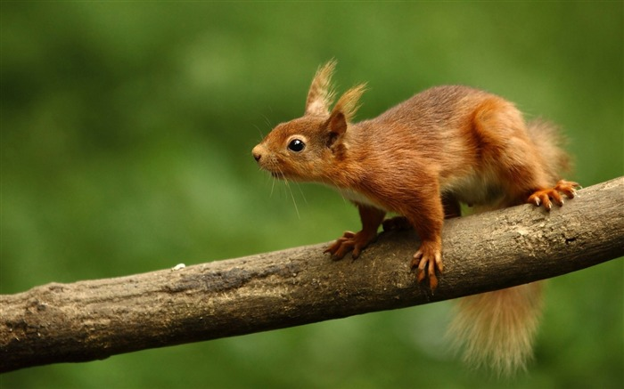 squirrel curiosity-Animal photo Wallpapers Views:2393