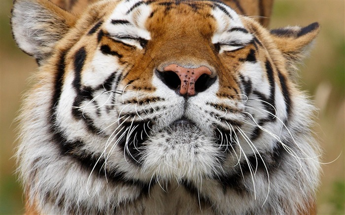 tiger face happy predator-Animal photo Wallpapers Views:4816