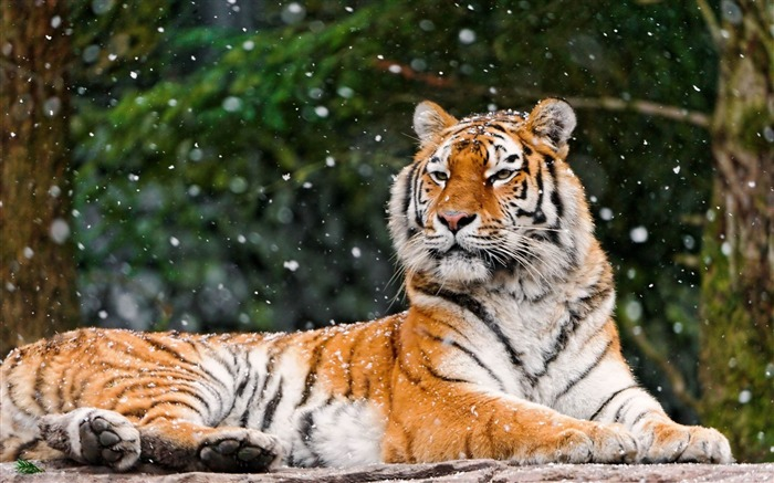 tiger predator lying snow-Animal Photo Wallpaper Views:3084