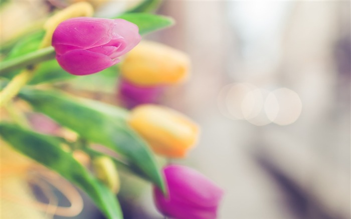 tulips flowers petals-plants desktop wallpapers Views:1316