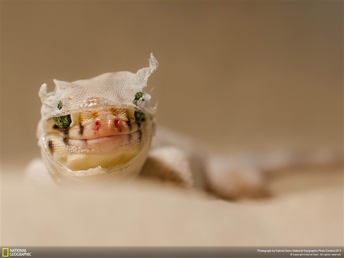 Chinese wonder gecko-National Geographic Wallpaper Views:3826