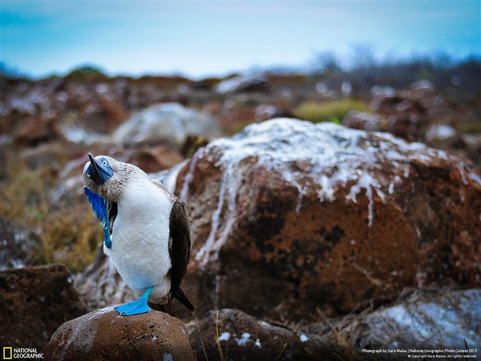 The Booby Dance-National Geographic Wallpapers Views:3258