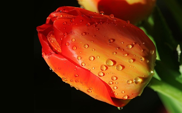 tulip flower bud drops-photography HD wallpaper Views:3398 Date:12/10/2013 7:37:50 AM
