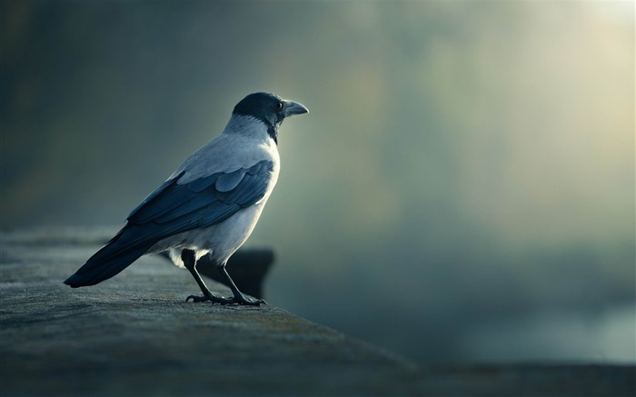 bird crow blurring-HD Photo wallpaper Views:3463