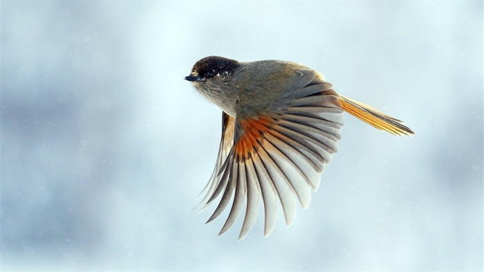 bird wings flap flight-HD Photo wallpaper Views:2973