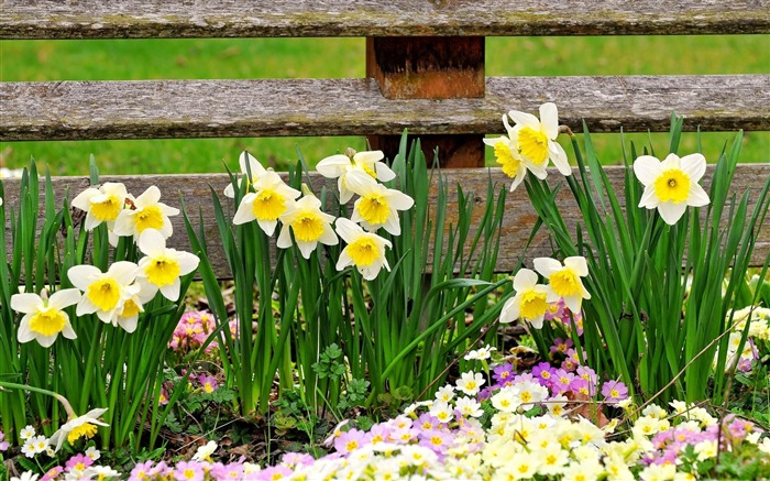 daffodils primroses flowers-Plants Photo Wallpaper Views:4258