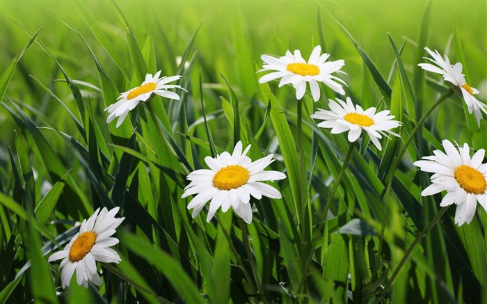 daisies flowers grass green-Plants Photo Wallpaper Views:3570