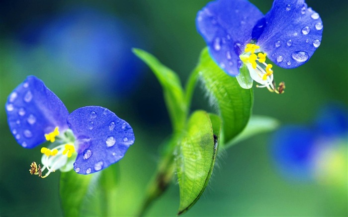 flower drops grass-HD Desktop Wallpaper Views:2986