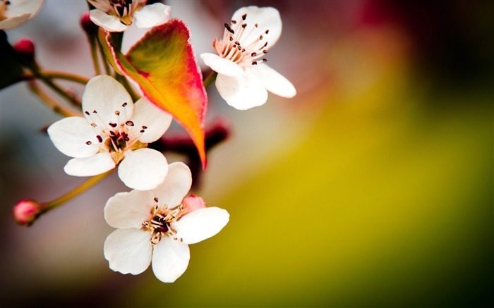 flowering spring plants fruit-HD Desktop Wallpaper Views:3008